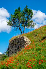 lonely tree and poppies on a green meadow in Provence