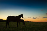 Horses grazing at sunset © mikelaptev