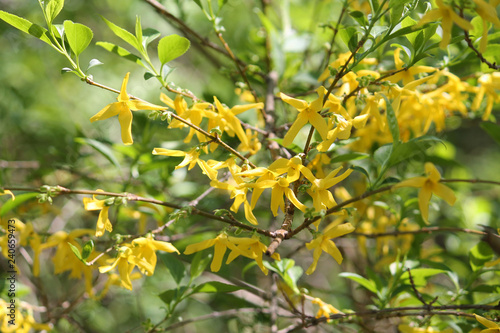 Forsythia suspensa with yellow flowers and young green leaves