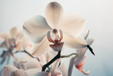 White orchid flowers. Close-up