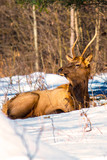 Bull elk in the snow – Photographed in Elk State Forest, Elk County, Benezette, Pennsylvania