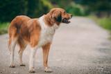 Beautiful orange-white dog on the road