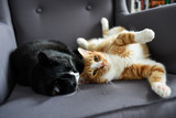 Two cats cuddling together on a chair at home. - 240681617