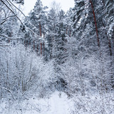 Beautiful winter forest with a lot of thin twigs covered in snow. Running Dalmatian on a white snow path.