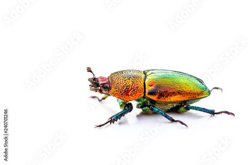 christmas beetle scarabaeidae isolated on white background buy