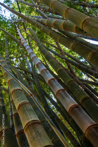 A stand of giant bamboo reach skyward