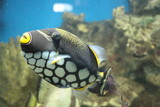 View on Clown triggerfish (Balistoides conspicillum), also known as the bigspotted triggerfish. The clown triggerfish is a small sized fish which grows up to 50 cm. - 240714018