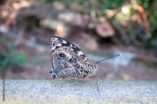 Butterfly resting on wood in front of the Iguazu Falls, Argentina - 240715299