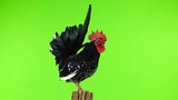 shabo rooster on a tree stump on green screen. - 240729851