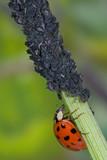 Asiatischer Marienkäfer frisst Blattlaus