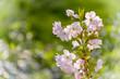 Leinwanddruck Bild - Japanische Blütenkirsche (Prunus serrulata)