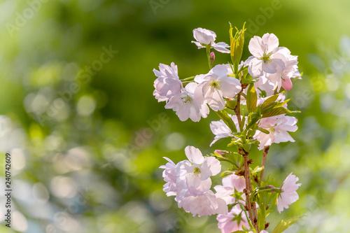 Leinwanddruck Bild Japanische Blütenkirsche (Prunus serrulata)