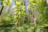 beech_leaves - 240746292