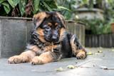 German Shepherd Puppy - 240746875