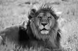 male lion - 240750292