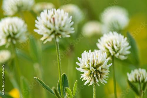 Frühlingsblume und Blüte auf Wiese - 240766406