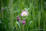 Rosane Akelei Blumen auf einer Blumenwiese im Sommer