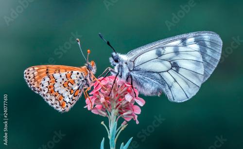 Beautiful butterflies sitting on flower - 240777610