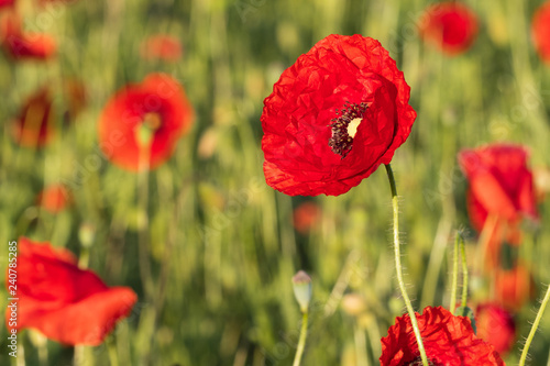 Red opium poppy in the bloom on the field in the spring, Papaver somniferum, Czech Republic - 240785285