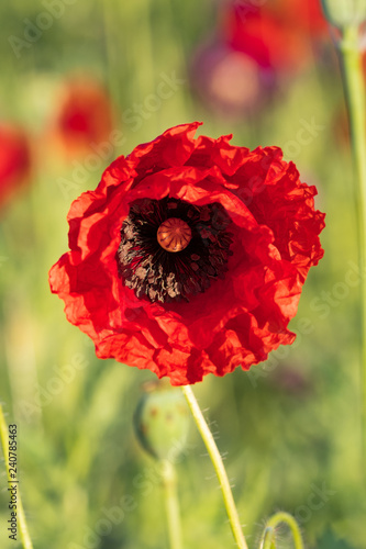 Red opium poppy in the bloom on the field in the spring, Papaver somniferum, Czech Republic - 240785463