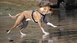 Brown and white dog running at beach