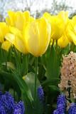 Tulips and bluebells, Keukenhof, the Netherlands