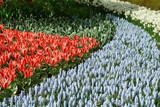 Tulips and bluebells, Keukenhof, the Netherlands - 240809042