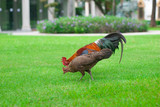 Rooster chickens and hens on green grass are hunting for food.