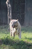 White Tiger Making Funny Faces And Enjoying Autumn Season Inside National Zoological Park In Delhi, India
