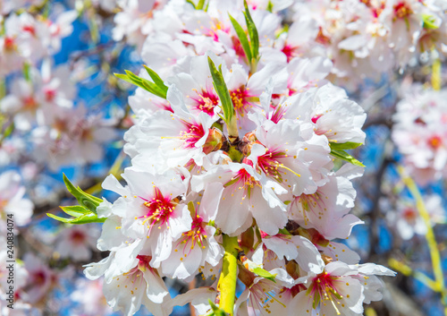 Closeup of a blossoming almond tree in full bloom - 240834074