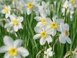 Weiße Narzissen, Narcissus