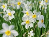 Weiße Narzissen, Narcissus - 240835054