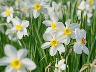 Weiße Narzissen, Narcissus © M. Schuppich