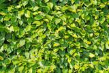Hainbuche, Carpinus betulus, Hecke - 240835457