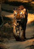 Head on shot of a bengal tiger walking along a jungle path in India
