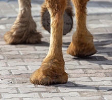 "Постер, картина, фотообои ""The hooves of a camel walking along the cobblestones"""