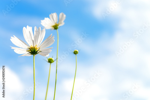 White Flowers Cosmos in the meadow, blue sky background.  soft and select focus - 240892676