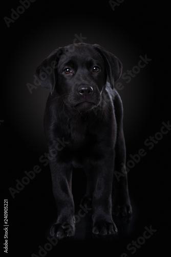 obraz lub plakat Labrador puppy on black background