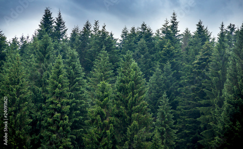 a spruce forest - 240911621