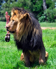 Ferocious predator, the African male Lion.