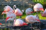 Flamingo flock by a pond