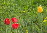 Tulpen rot und gelb
