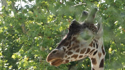 Close up of giraffe head, facing toward the left. It chews and repeatedly sticks the tip of its tongue out.