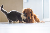Golden Retriever dog and British short-haired cats - 240958889