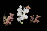 Orchid flowers in the night