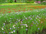 ヤグルマギク咲く風景