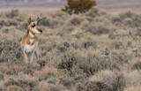 Pronghorn Antelope Doe - 240991020