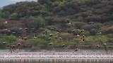 Flamingos am Baringosee