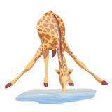 African giraffe drinks water. Vector illustration. Animals of Africa.  - 241007631