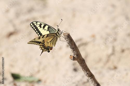 Motyl Paź Królowej - 241022067